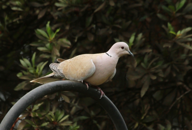 Eurasian Collared Dove ... This is one I rarelt see at Green Cay.  We have lots of White-winged and Mourning Doves that seem to hog the feeders!