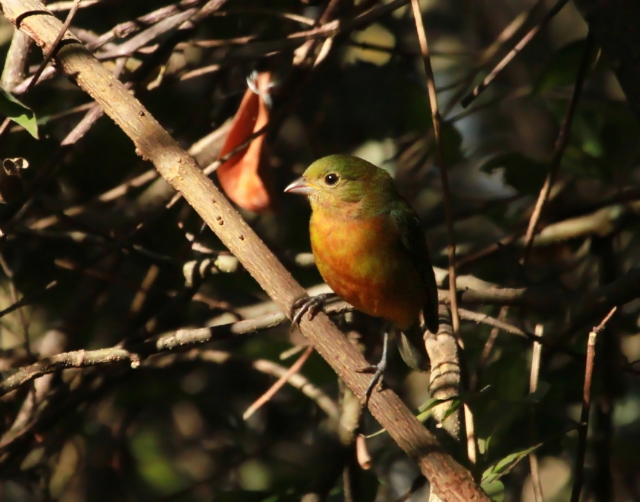 Painted Bunting ...