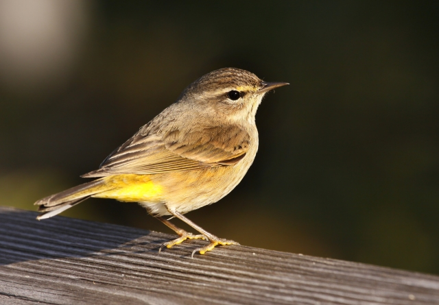 Palm Warbler ... Our number one most abbundent Warbler in the Winter!
