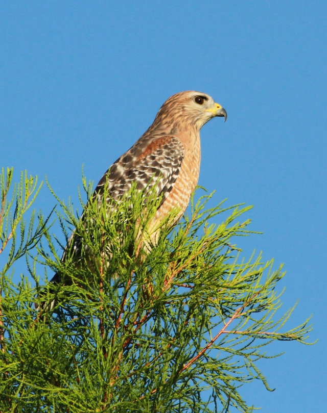 Red-shouldered Hawk ... He greets us in the parking lot many mornings.