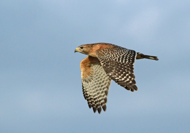 Red-shouldered Hawk ... Another of our resident Raptors.
