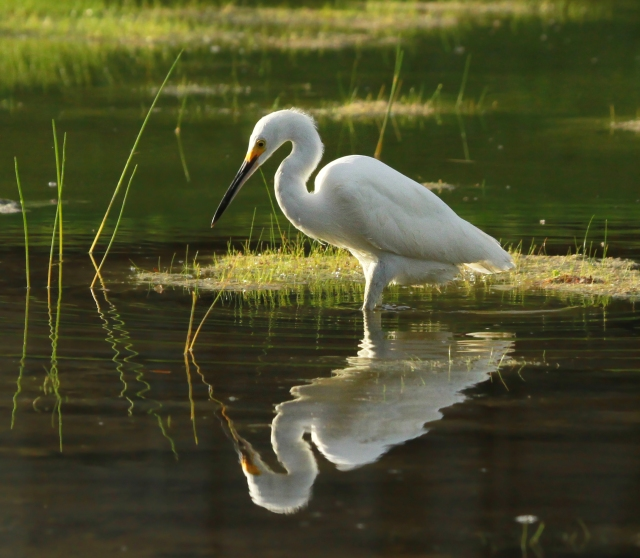 Snowy Egret ... I had a nice week for reflective shots!
