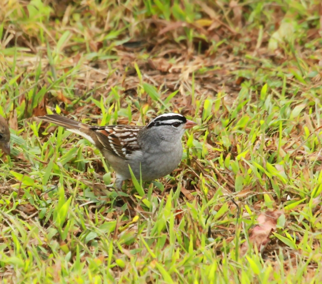 White-crowned Sparrow ... This was the only place I saw them on the trip.