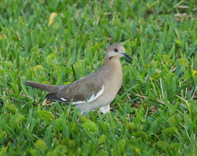 White-winged Dove ... What a beautiful specimen!!