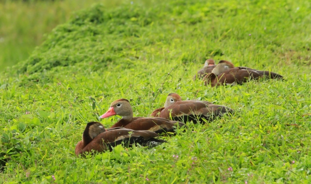 Black-bellied Whistling Duck ... This was one tired group and most were already dozing by the time I made it downstairs to record them.
