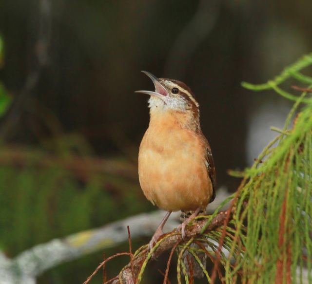 "Carolina Wren ... Looking for a partner to ""sing"" with!"