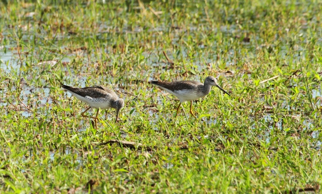 Greater Yellowlegs ... I would never have recorded these if I was in the car!!