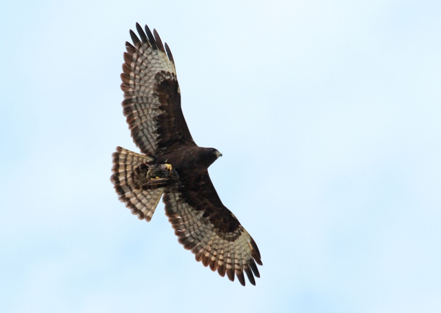 Short-tailed Hawk ... What a beautiful Raptor.