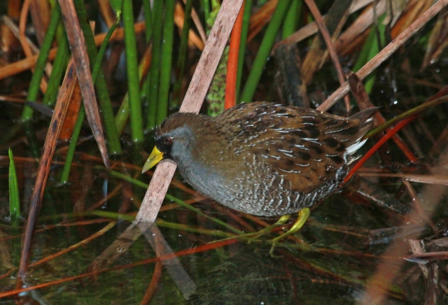 Sora ... A new Loxahatchee bird!