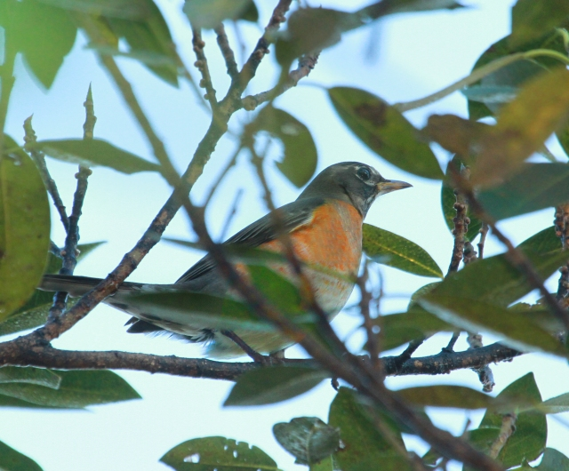 American Robin ... I know for all those who live North of Florida there is not much excitment for Robins except as a harbinger of Spring.  Down South we only see them in limited numbers during Winter so I was happy to record it for Pondhawk.