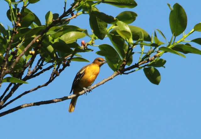 "Baltimore Oriole ... I have to thank Linda for this one as she had the ""Eagle Eye"" yesterday and today!!"