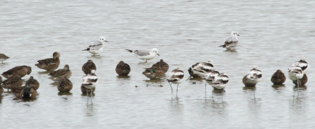 Bonaparte's Gull ... I never in a million years even imagined I'd see these guys so far inland!