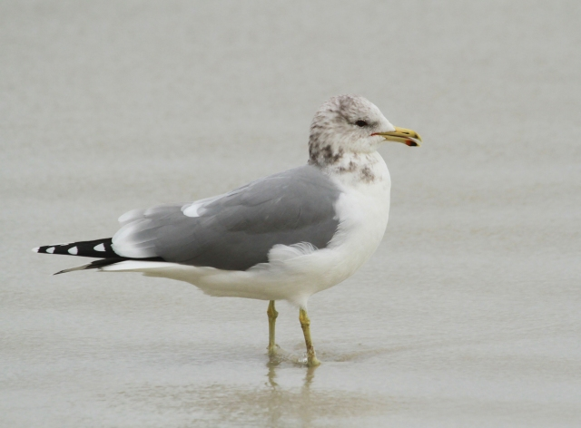 California Gull ... Slightly larger than a Ring-billed Gull and a slightly darker mantle as well as a red and black dot on his lower bill.