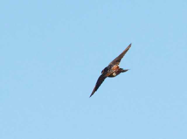 Cave Swallow ... Shows the Rufous rump and you can just see the Rufous on his head.