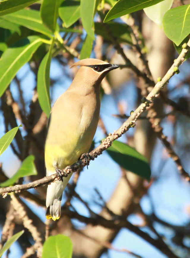 Cedar Waxwings ... One of my favorite Winter visitors!