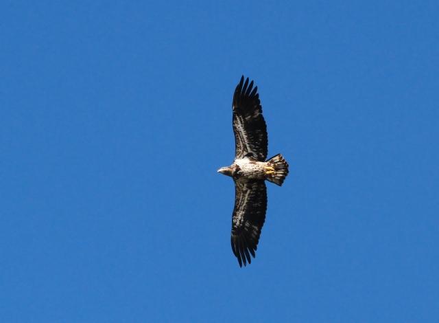 Bald Eagle ... All dark wings!