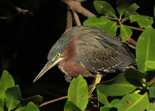 Green Heron ... All of these guys were sitting on the lee side of the Mangroves, out of the wind and enjoying the sun!
