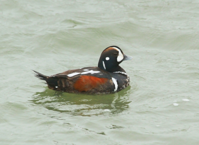 Harlequin Duck ... This was the first breeding plumage male I've ever seen!