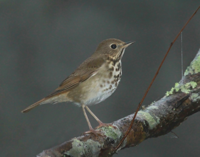 Hermit Thrush ... A first for Florida!