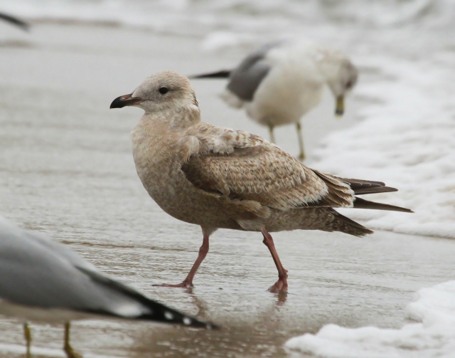 Herring Gull ... This is a second Winter bird.