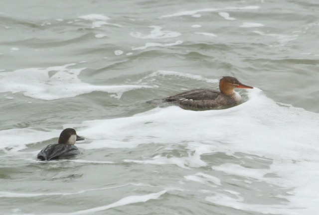 Red-breasted Merganser and Black Scoter at Ft Clinch State park