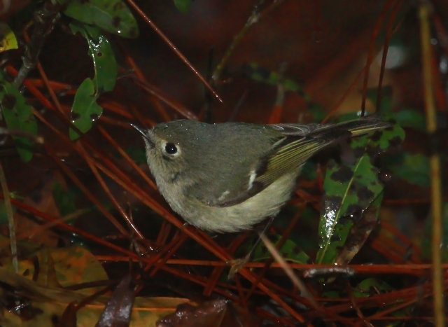 Ruby-crowned Kinglet ... He was the first bird I photographed in the morning!