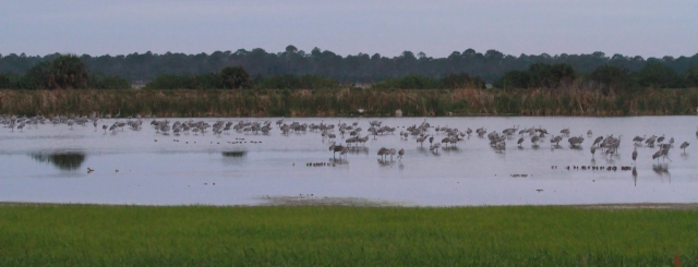 Sandhill Cranes ... This is probably not even half the number that were present.