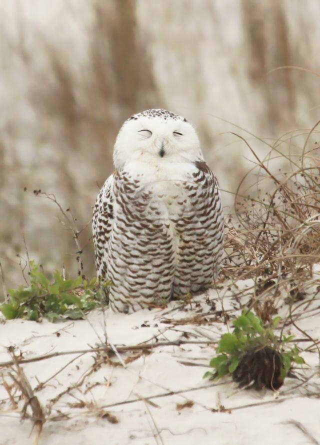 Snowy Owl ... Just an incredible bird!