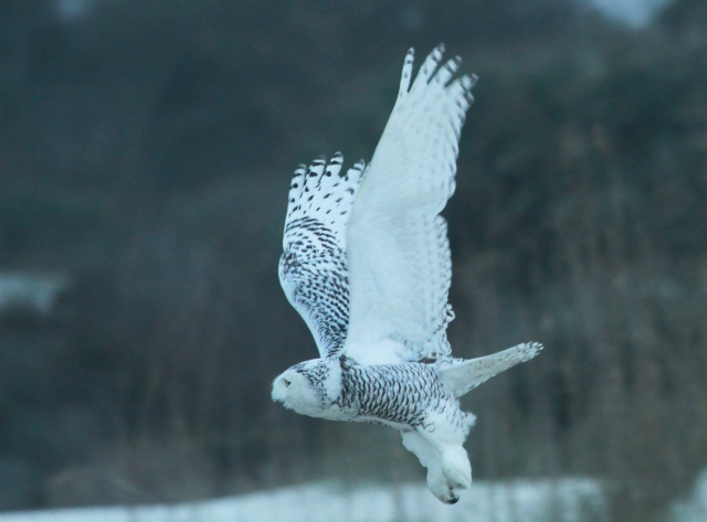 Snowy showing off her four and half wing span!
