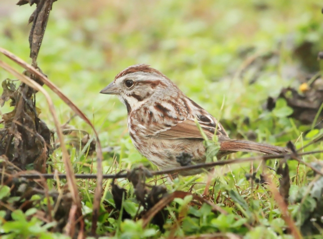Song Sparrow ... There were many Sparrows to sort through with the majority being Swamp and Songs.
