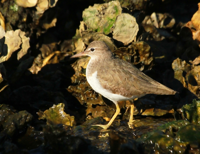 Spotted Sandpiper ... I don't think I've ever been to this location and didn't see one of these guy.