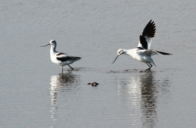 American Avocet ... One of the species I'm not likely to see unless I take a 100 mile road trip this Fall.