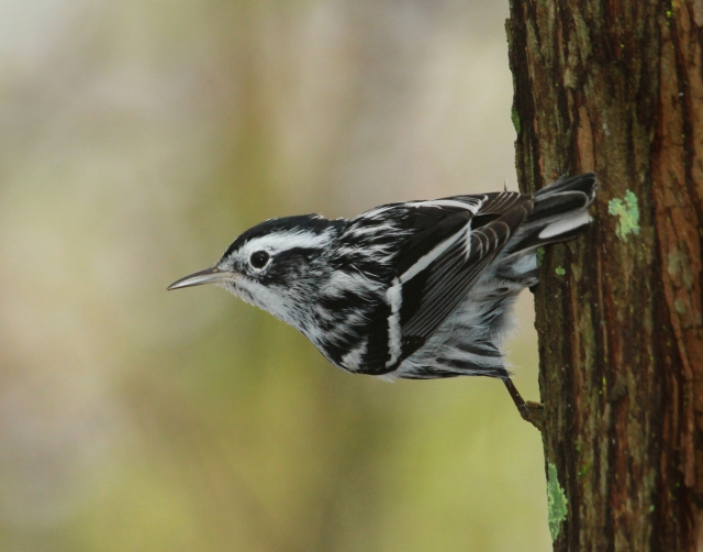 "Black and White Warbler ... This guy was ""frozen"" against the side of the tree after a Cooper's Hawk came crashing through the woods chasing breakfast.  He didn't move, not even blink for about 5 minutes!"