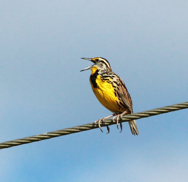 Eastern Meadowlark ... He was on the wire when were first got in singing his little heart out!