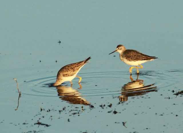 Lesser Yellowlegs ... Perfect early morning light on this small group.