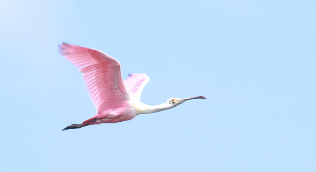 Roseate Spoonbill ... There must have been 100's of these guys flying around STA 1E.