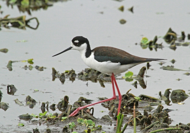 Black-necked Stilt ... This is a female.  The males have Black backs while the females are Brown.