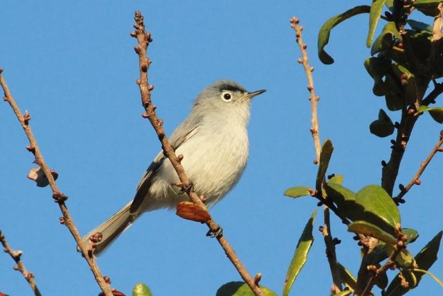 Blue-gray Gnatcatcher ... Breeding plumage male!