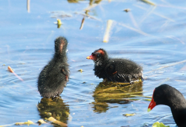 Common Galinule chicks ... Lots of these guys are bron anually at GC.