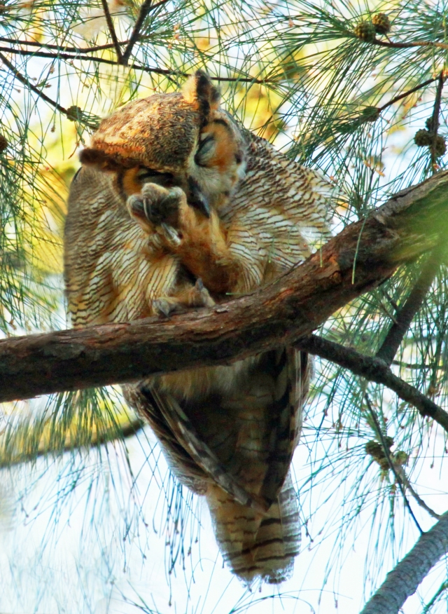 Great Horned Owl ... I think he was tired of me taking his picture.  This guy had to be 75 feet up in an Australian Pine ... thank God for telephoto lenses!