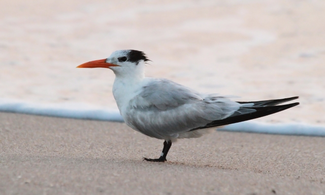 Royal Tern ... Just as the sky began to change colors.
