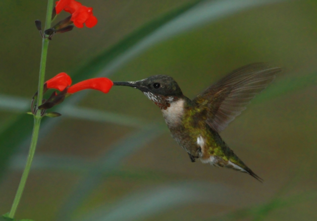 Ruby-throated Hummingbird ... We see many of these beauties during migration!