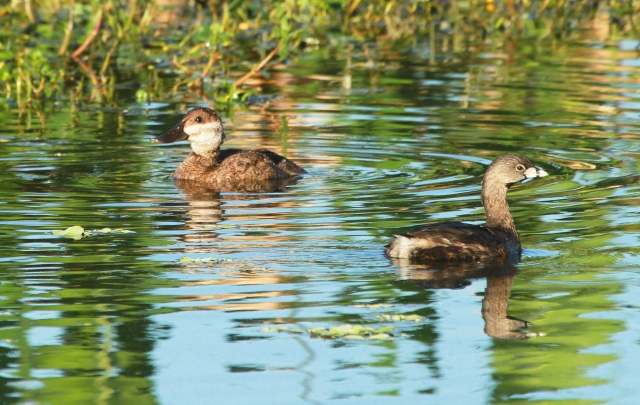Ruddy Duck and Pied-billed Grebe ... I love this shot as it gives a real good perspective on the Ruddies small size!