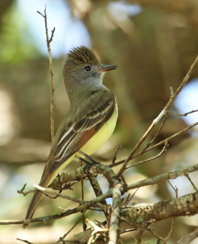 Great-crested Flycatcher ... This guy was showing off for his near-by girlfriend!