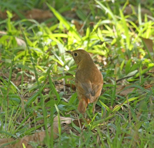 Hermit Thrush ... This view shows the very diagnostic field mark ... the Rufous Tail!