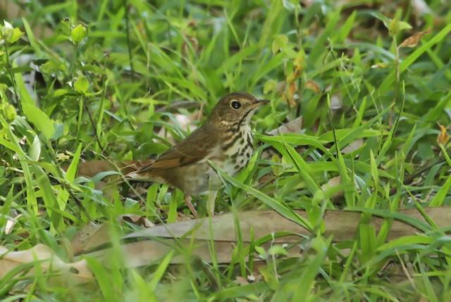 Hermit Thrush ... County bird #256!