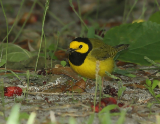 Hooded Warbler ... This is the one Warbler both Cheryl and I were hoping to see!!