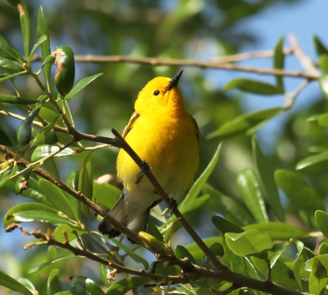 Prothonorary Warbler