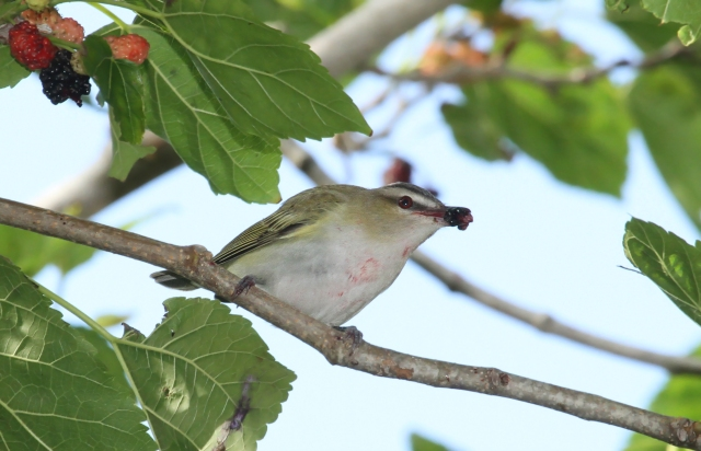 Red-eyed Vireo ... He should have had a bib on!