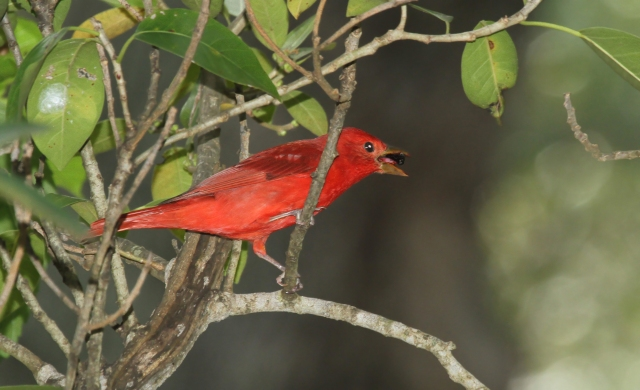 Summer Tanager ... What amazing color.  We rarely see breeding plumaged birds in Palm Beach County.